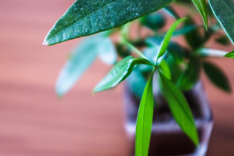 無印良品の観葉植物(ハイドロカルチャー)の半年後の葉の様子