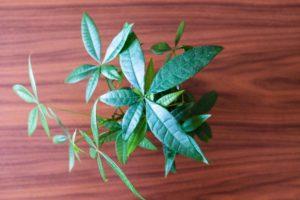 緑のある暮らし Vol.2:購入半年がたった無印良品の観葉植物『ハイドロカルチャー』の現在の様子