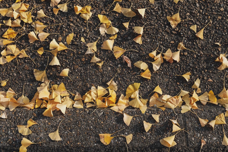 FUJIFILM X100Fで撮影した銀杏